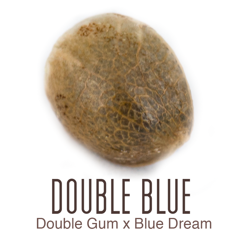 Double Blue cannabis seed by Amsterdam Genetics