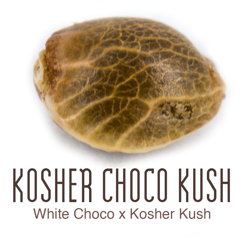 Kosher Choco Kush cannabis seed by Amsterdam Genetics