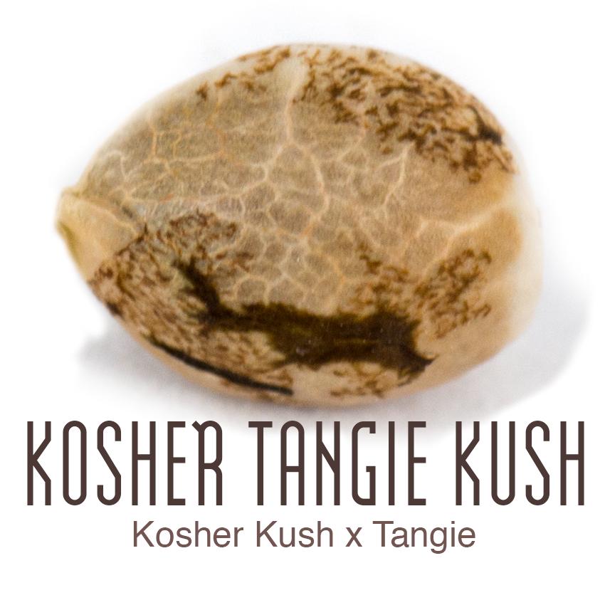Kosher Tangie Kush cannabis seed by Amsterdam Genetics