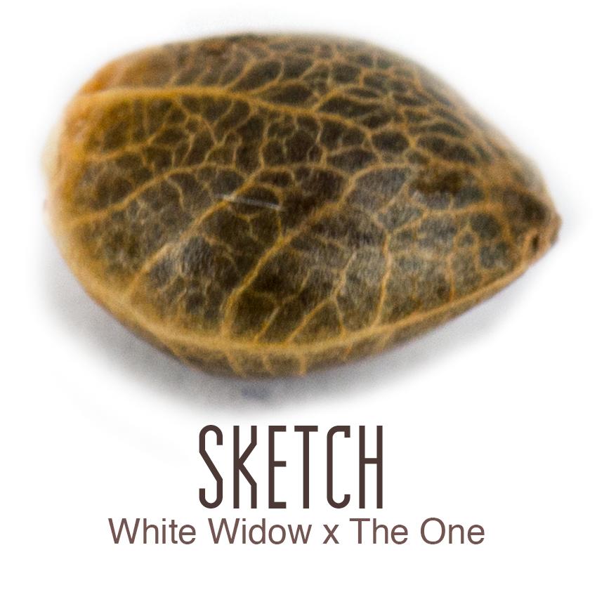 Sketch cannabis seed by Amsterdam Genetics