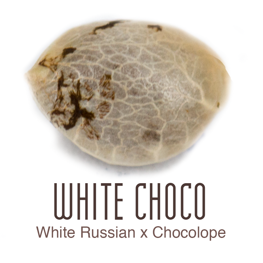 Buy White Choco Feminised Cannabis Seeds by Amsterdam Genetics