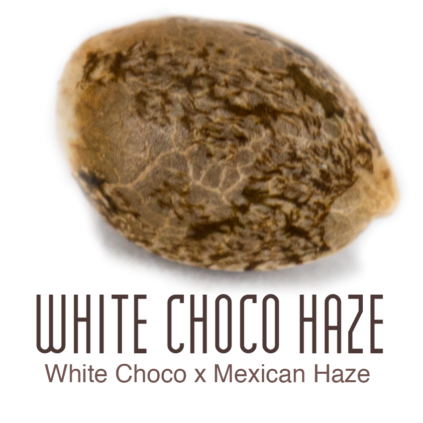 White Choco Haze cannabis seed by Amsterdam Genetics