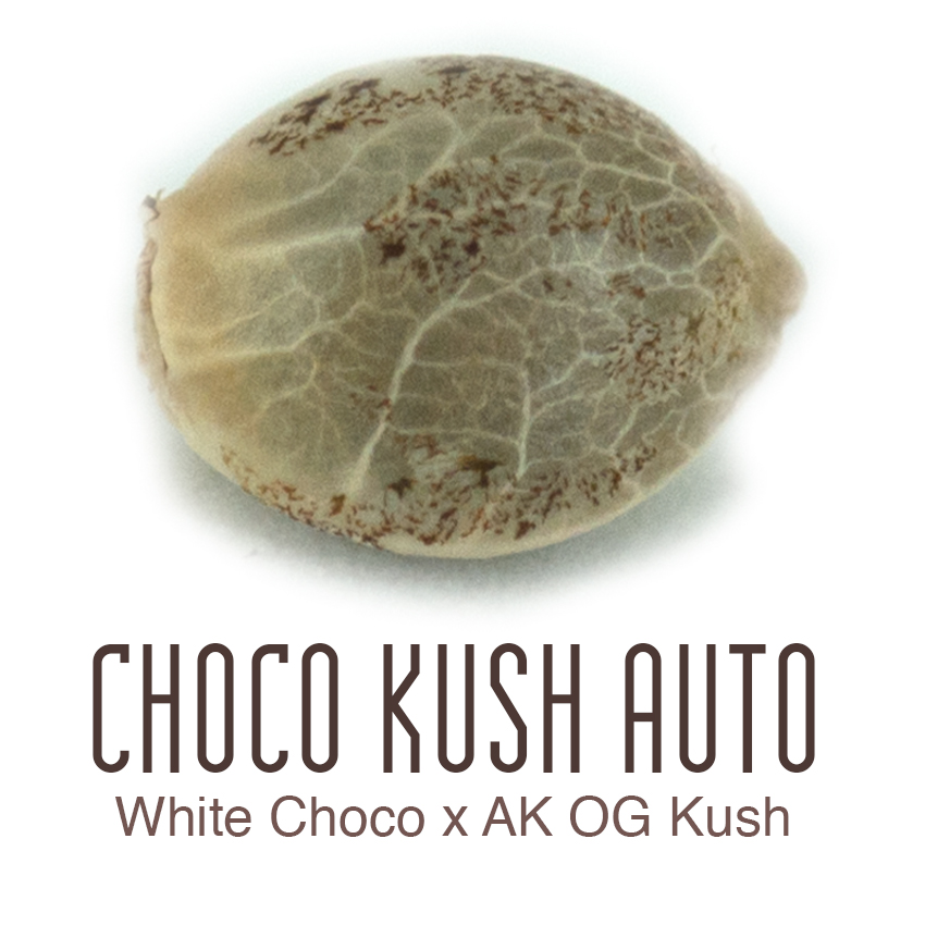 Choco Kush Auto Flower Cannabis Seeds