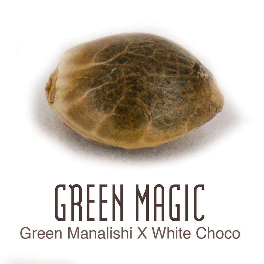 Green Magic Cannabis Seeds available from Amsterdam Genetics