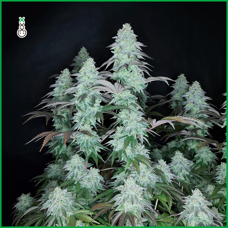 ak choco kush cannabis seeds