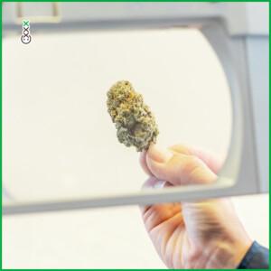 weed anti douleur