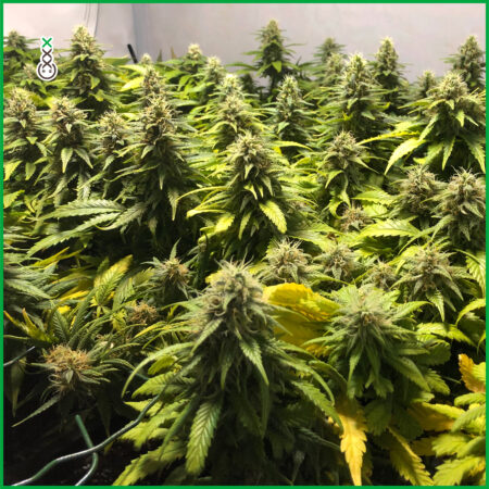 homegrown cannabis supercropping