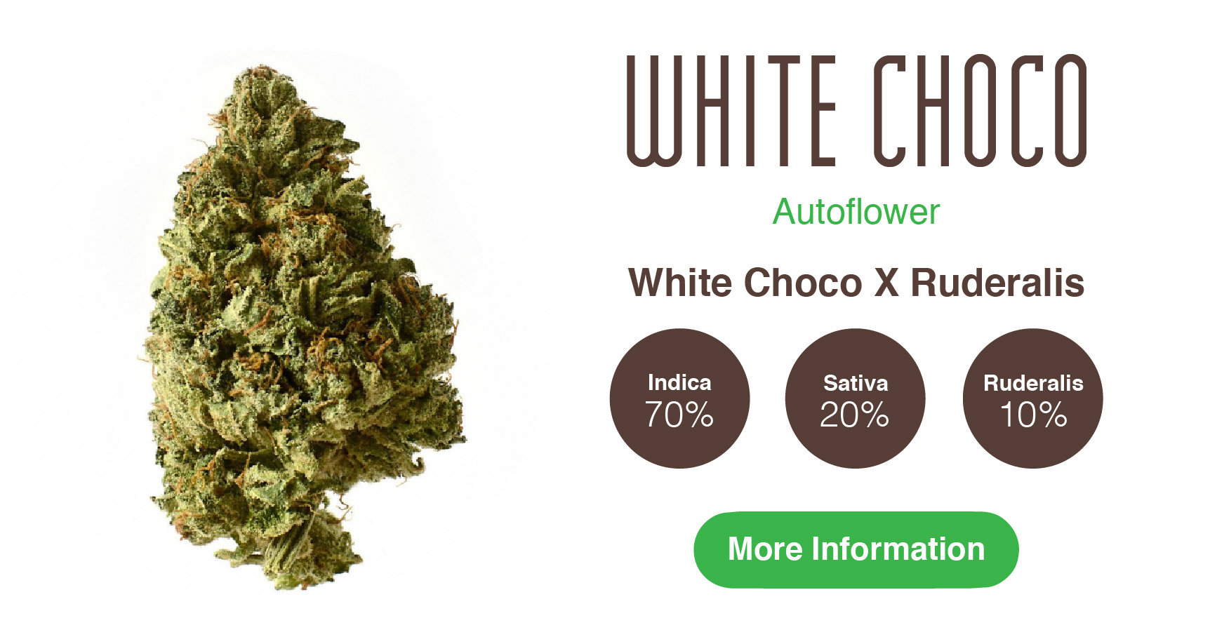 white choco high yielding autoflower