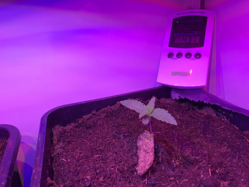 germinated cannabis seedling