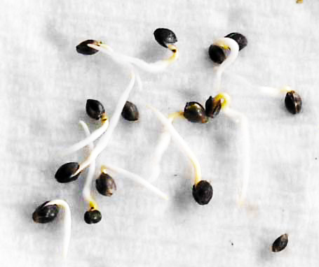 Germinate Cannabis Seeds