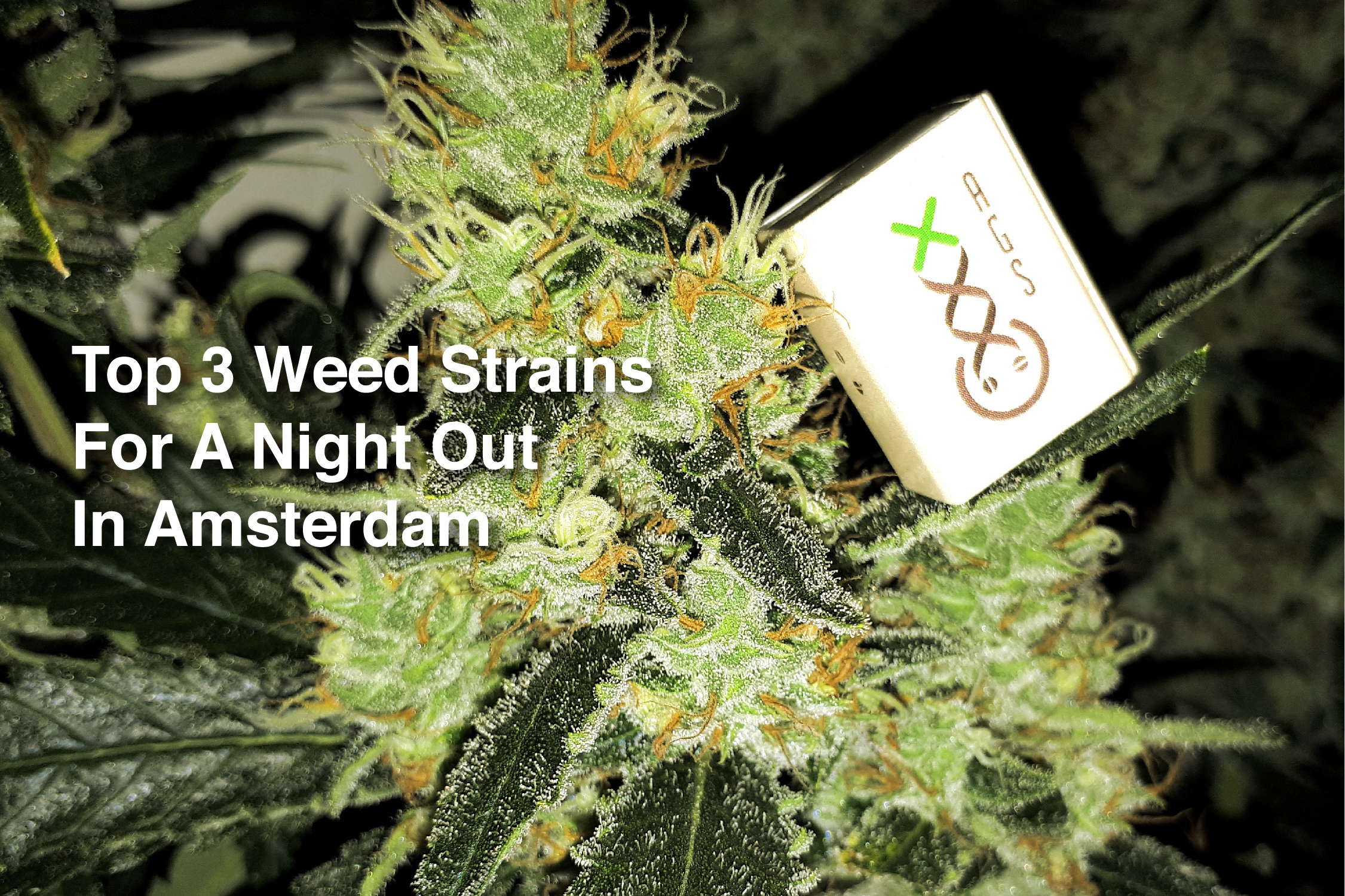 Best Sativa Strains 2019 Top 3 Weed Strains For A Night Out In Amsterdam   Amsterdam Genetics