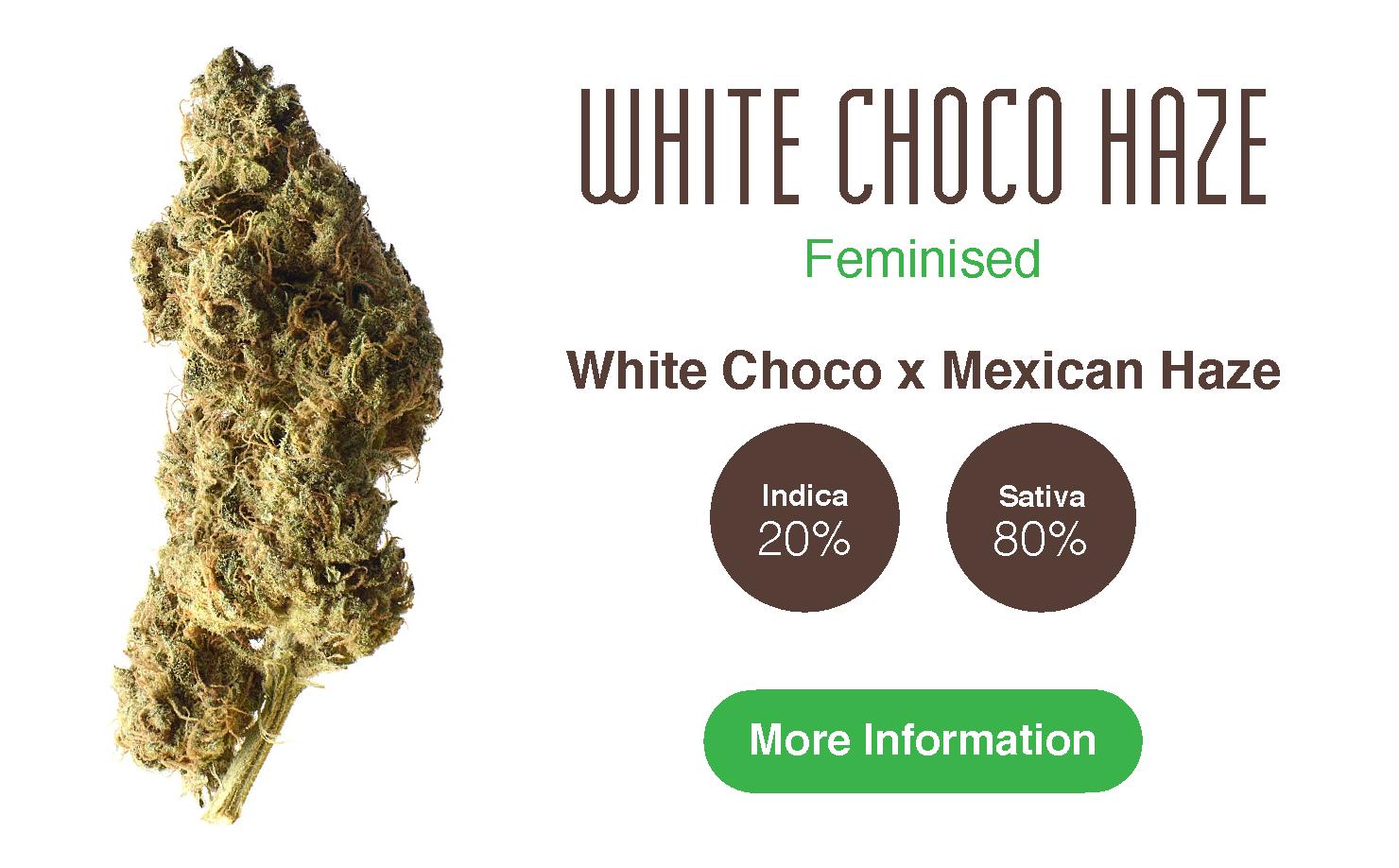 White Choco Haze cannabis seeds information