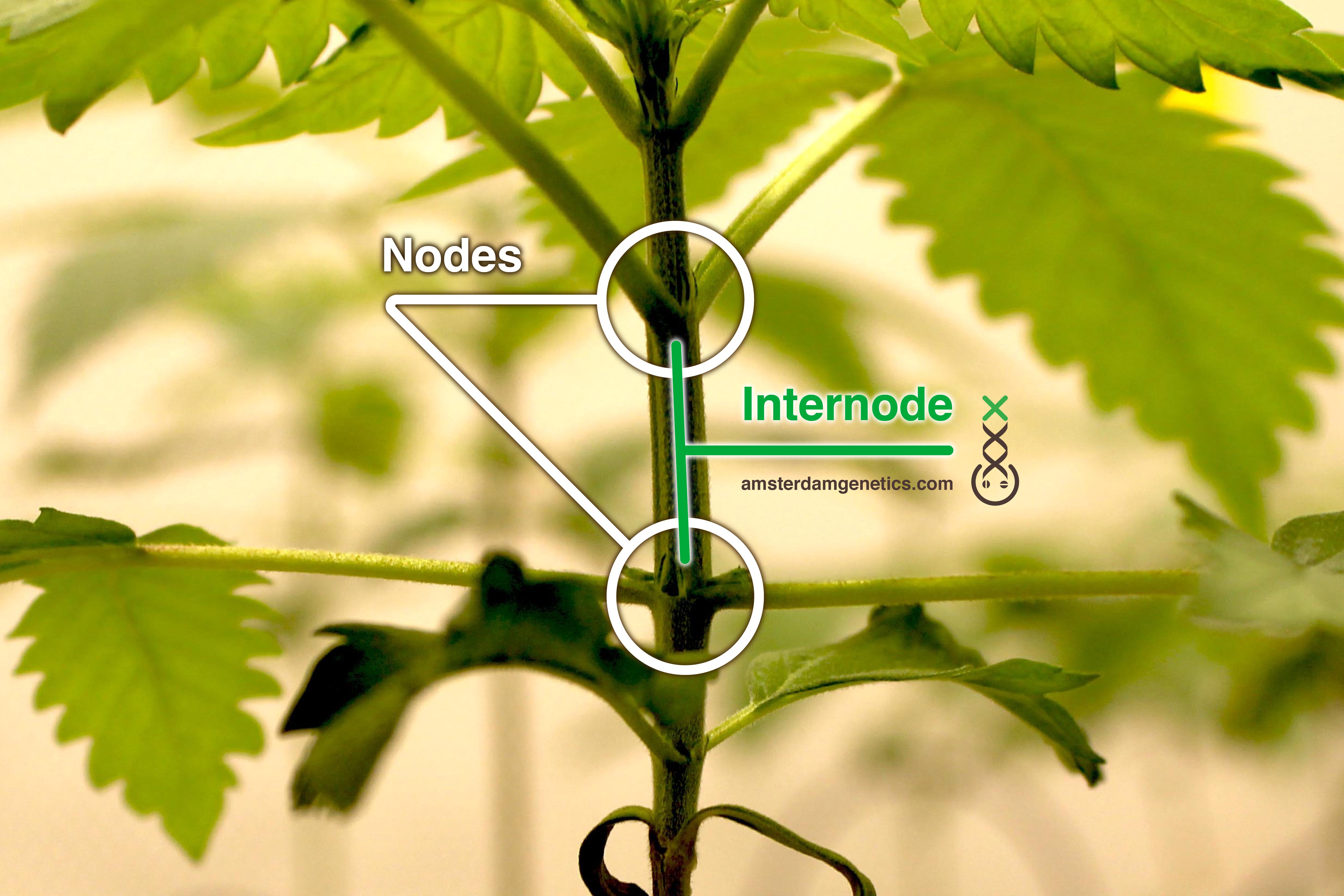 nodes node internodes internode Amsterdam Genetics