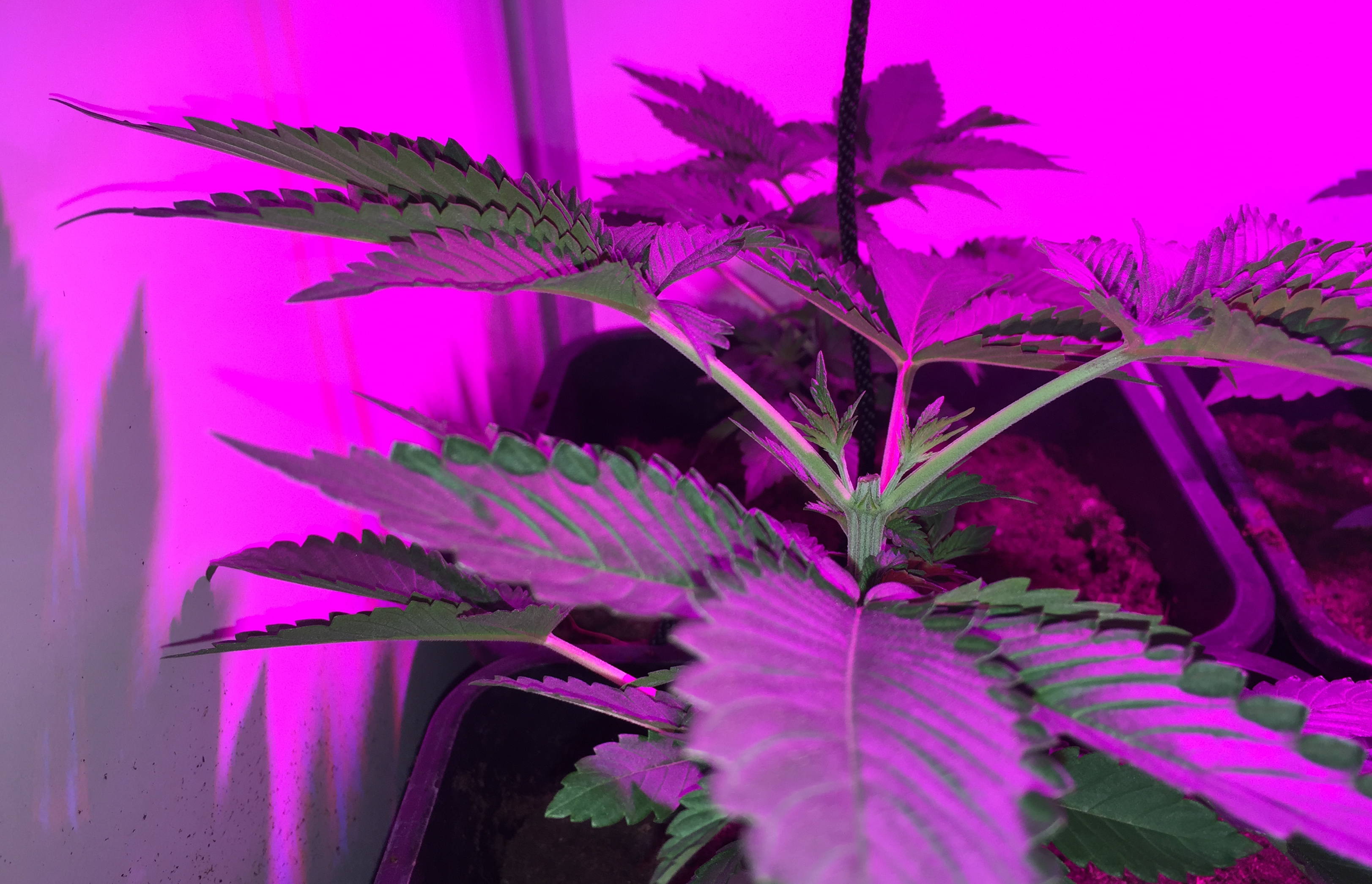 cannabis plant topped weed