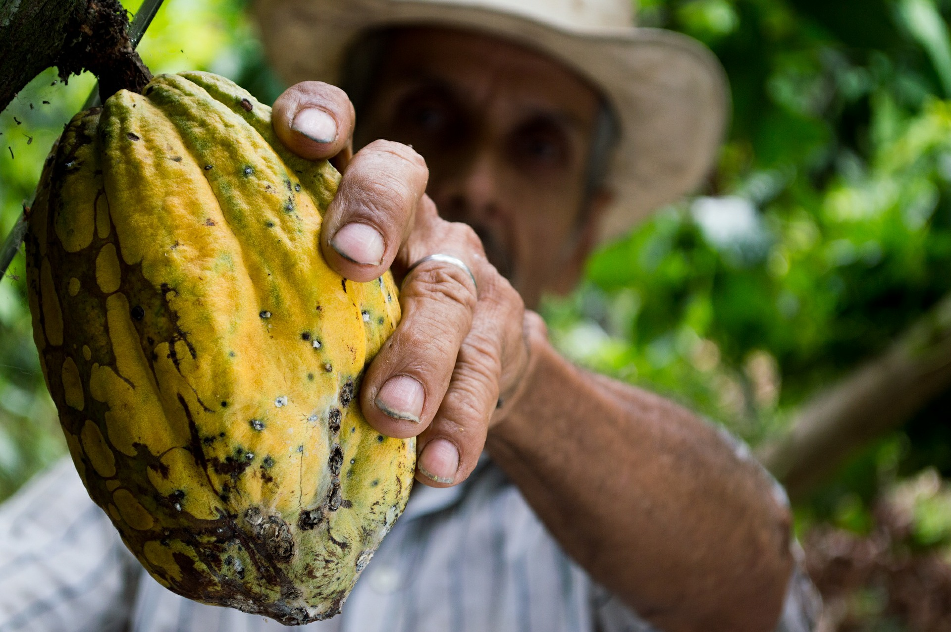 cocoa contains thc like substances
