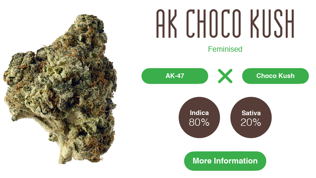ak Choco Kush cannabis seeds info strain