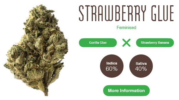 strawberry glue weed strain cannabis seeds