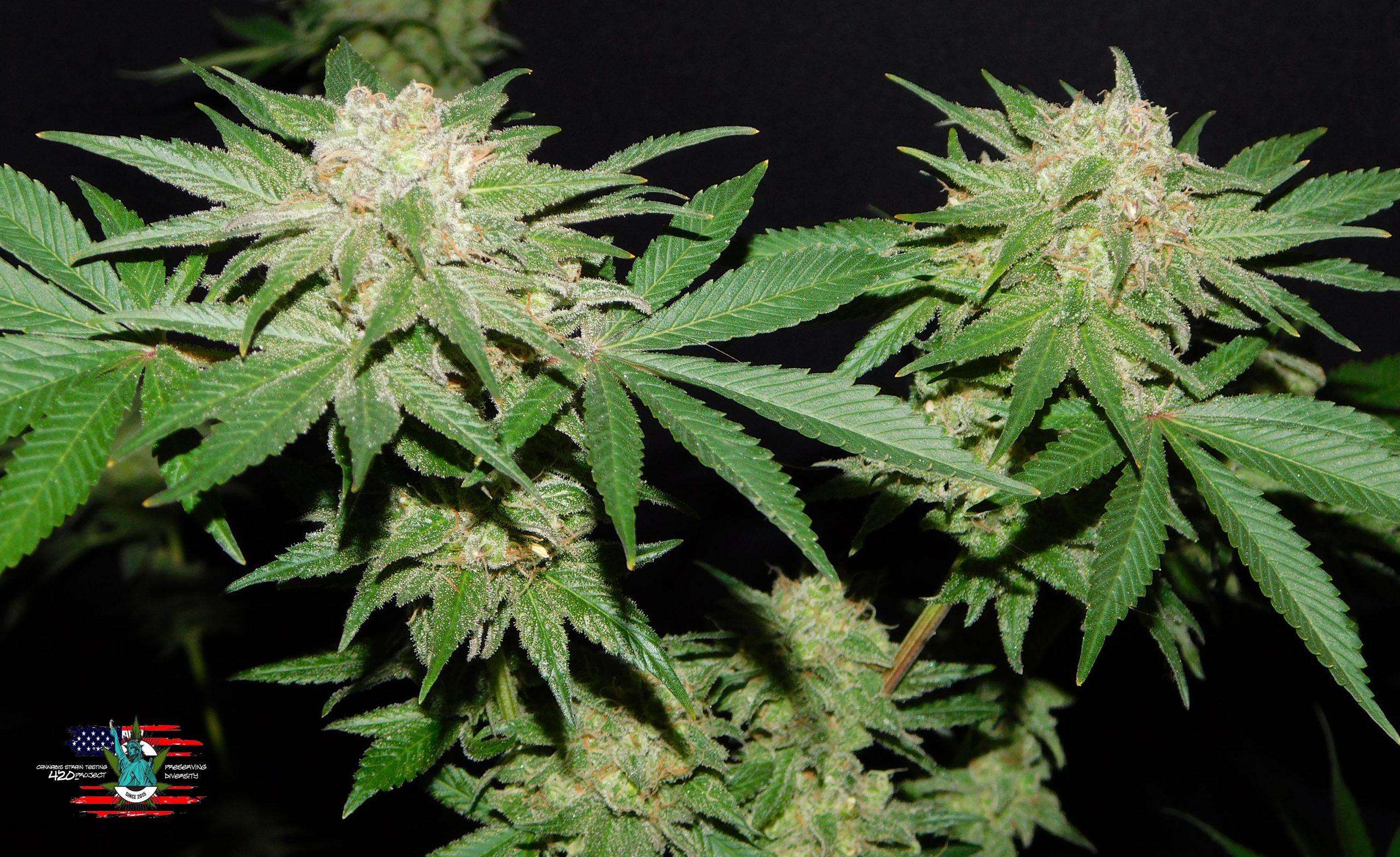 Kosher Choco Kush Cannabis Buds boy Amsterdam Genetics Seeds