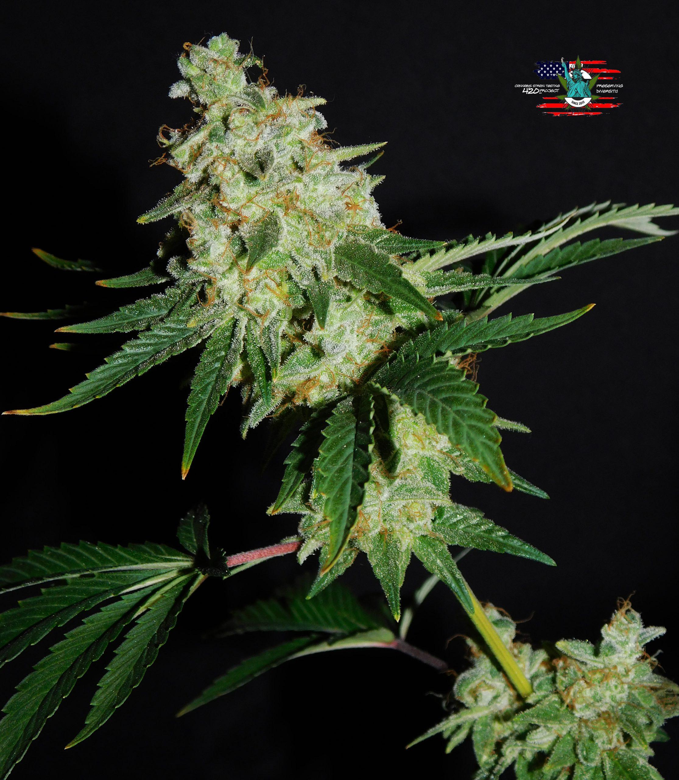green magic cannabis strain