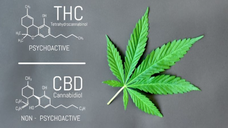 difference thc cbd Amsterdam Genetics weed cbd cannabis