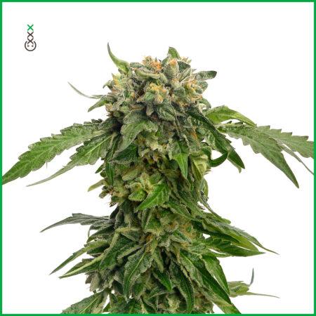 cannabis zaden voor stress bestrijding