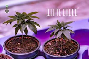 white choco autoflower