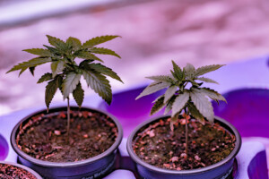 grow your own autoflower cannabis