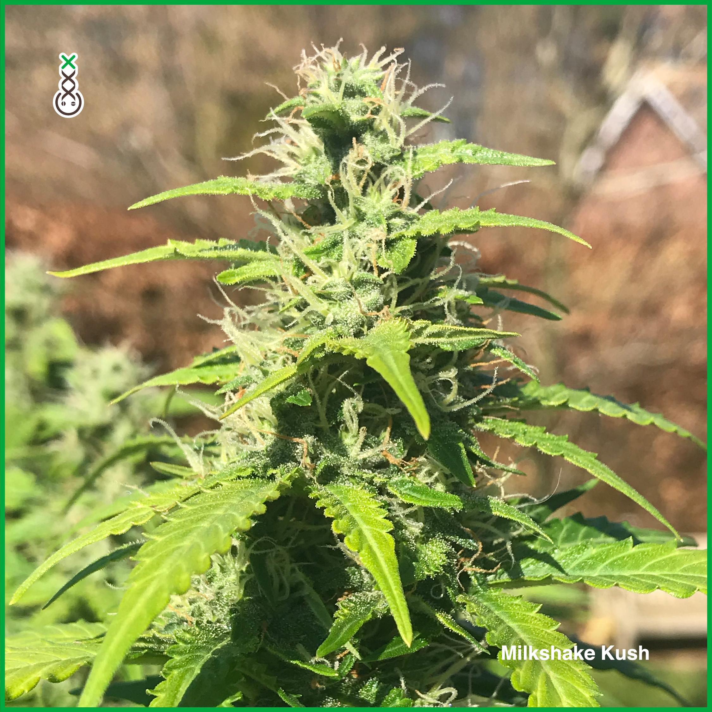 best autoflower weed amsterdam genetics