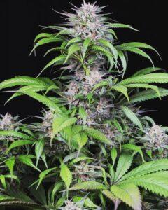 buiten cannabis groeien