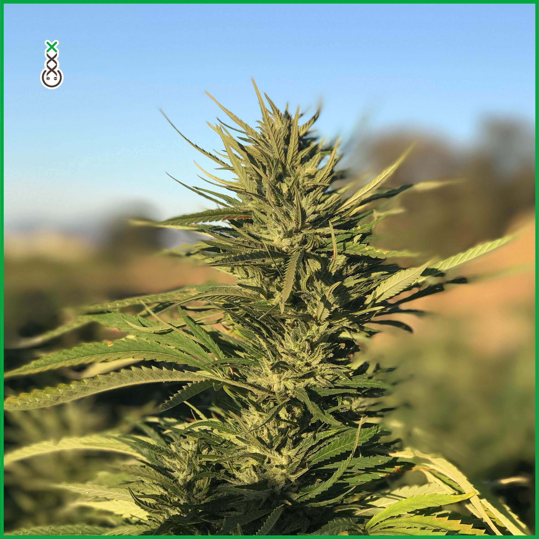 cannabis fotosynthese licht