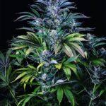 autoflower cannabis seeds