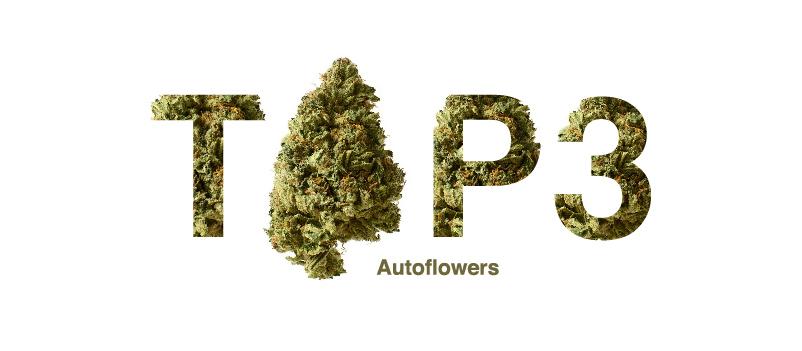 Best autoflower cannabis seeds