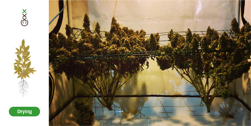 hoe oogst je cannabis