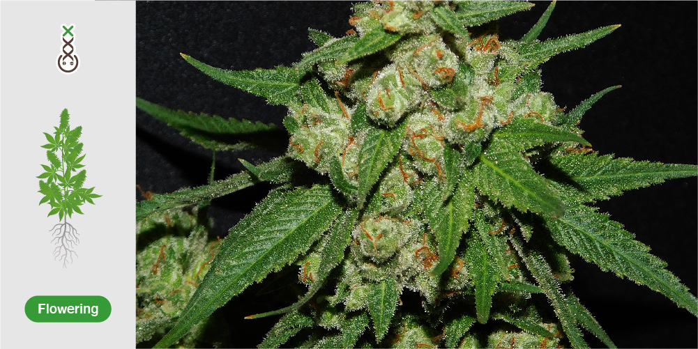 Cannabiszaden kwaliteit amsterdam genetics