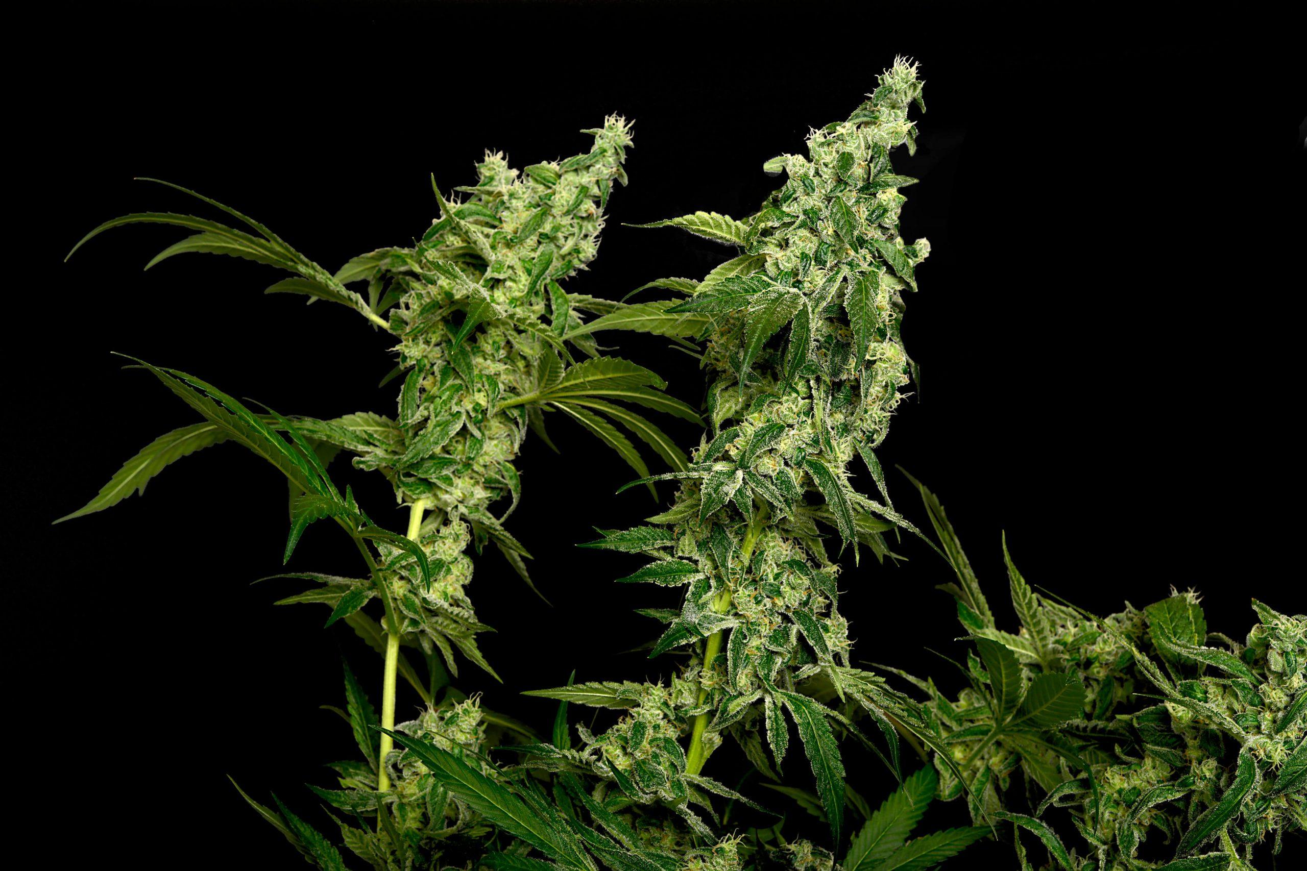 cannabis anandamide