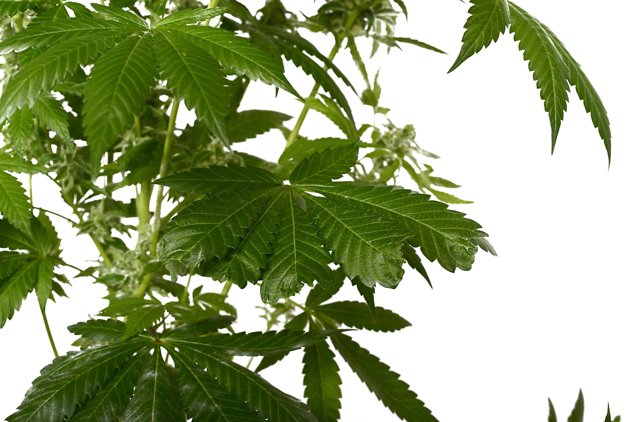 stress cannabis leaf