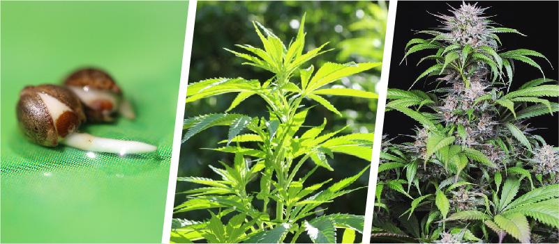 life cycle of cannabis weed