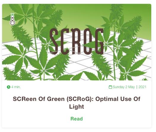 scrog cannabis