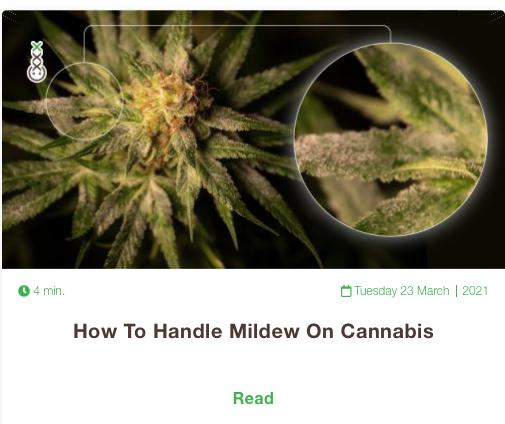 mildew cannabis
