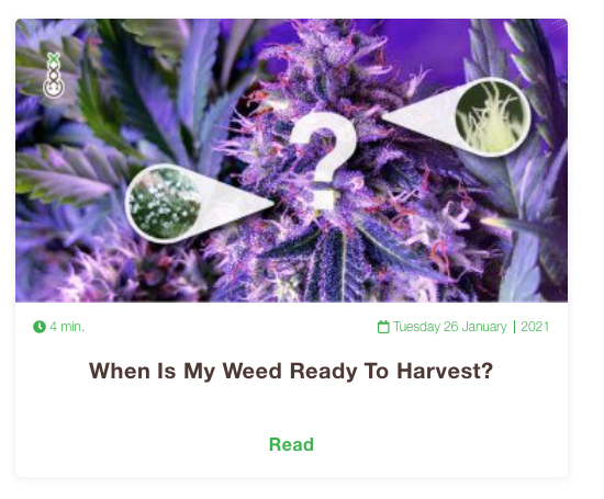 when is weed ready to harvest