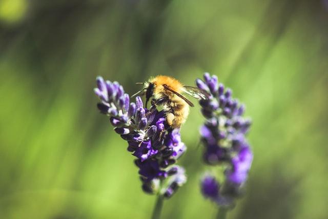 Lavender intercropping
