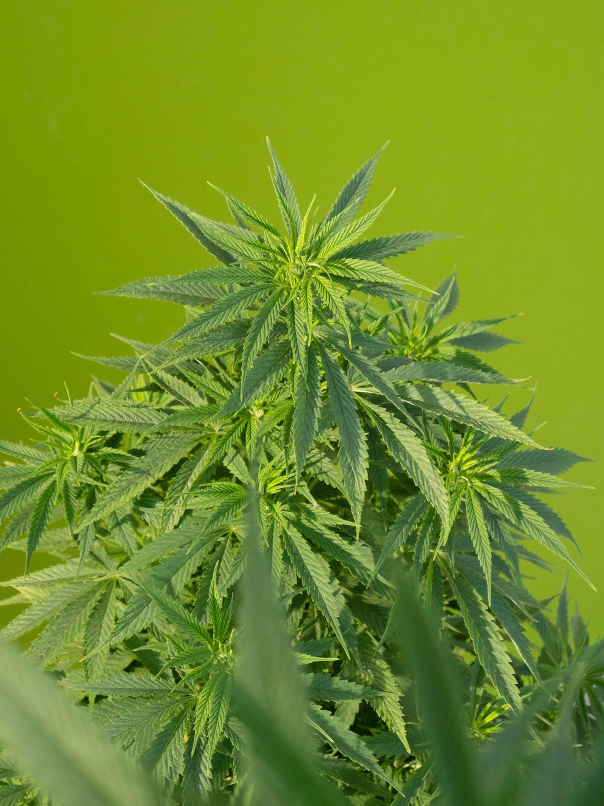 cannabis stoned high thc effecten