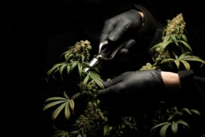 poda defoliación cannabis