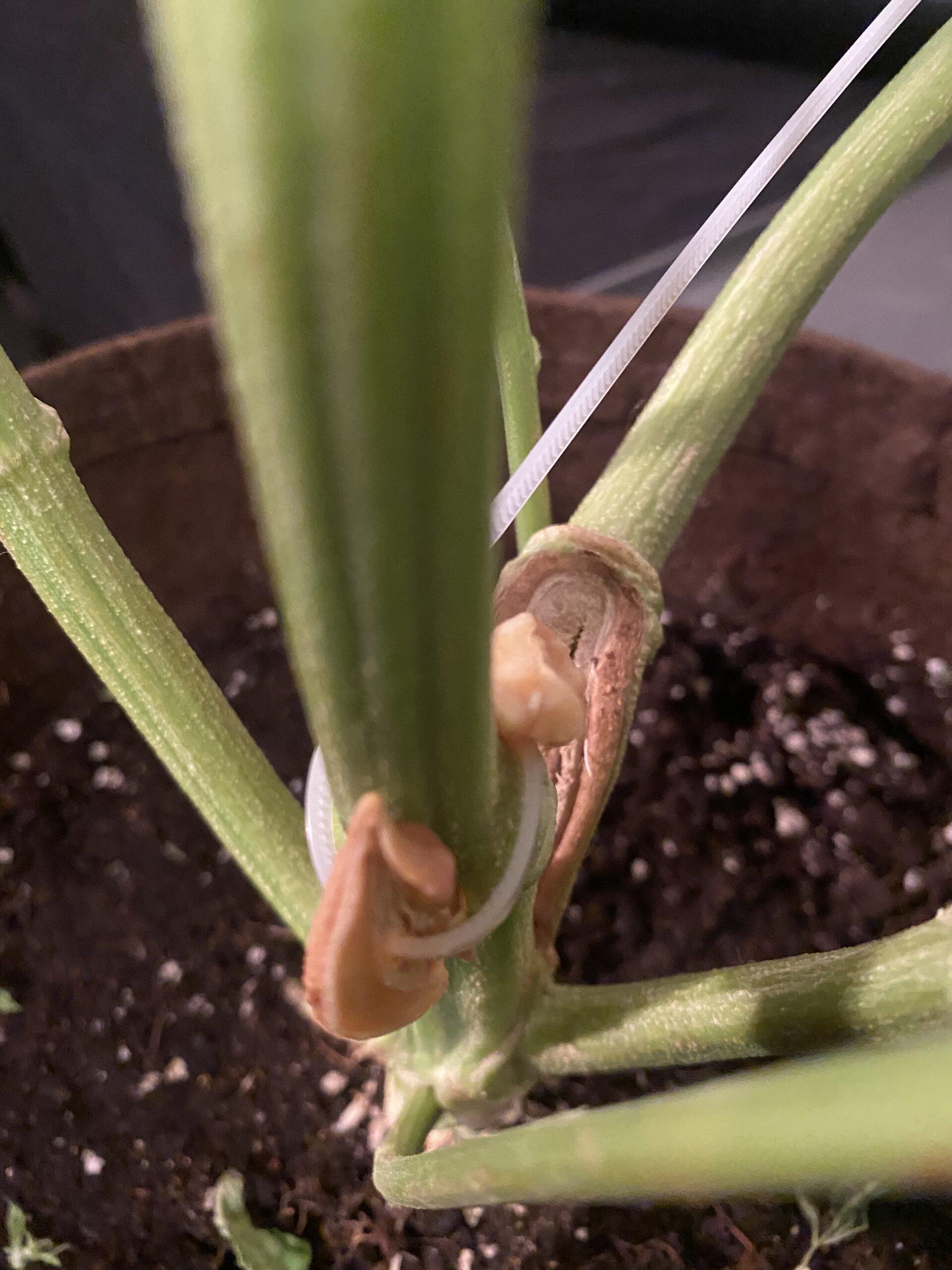 garlic and cannabis