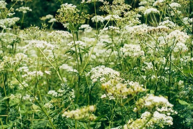 yarrow cannabis companion planting