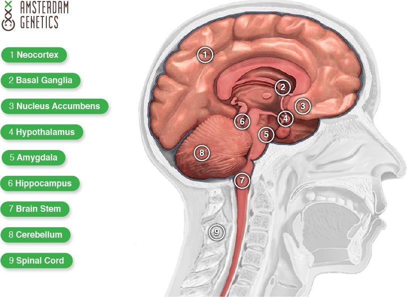 thc effecten hersenen