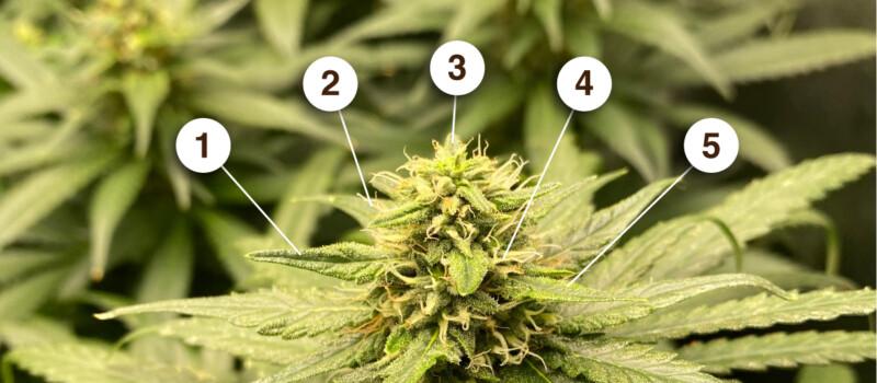cannabis bijwerkingen